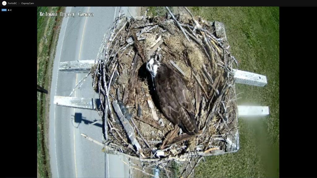 Osprey family nests on FortisBC platform in Kelowna