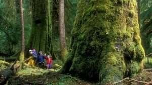 Forestry investigation finds old growth protection inadequate